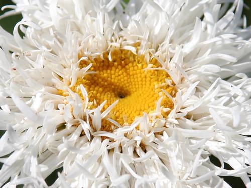 Crazy daisy, up close