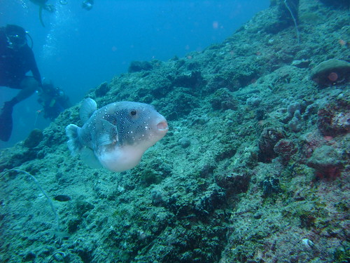giant puffer mouth agape