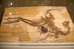 Caudipteryx - 01
