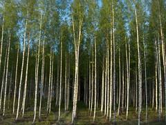 Slender Birch Trees