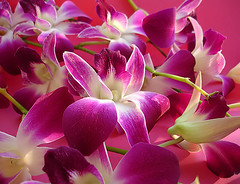 rosa-orquídea by wagner campelo