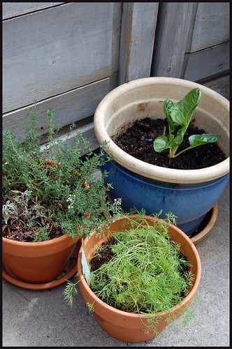 thyme, dill, and chard