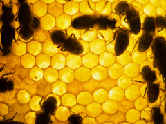 Honey Bees on the Comb