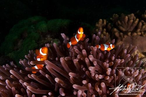 cute anemone fish