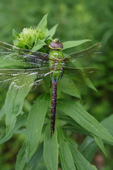 Common Green Darner - Female Teneral