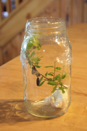 pupa in mason jar for rearing