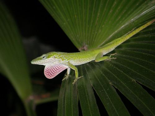 Chipojo (Anolis porcatus) mostrando pliegue gular por copepodo.