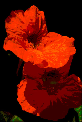 Nasturtiums posterized  (13 May 10)