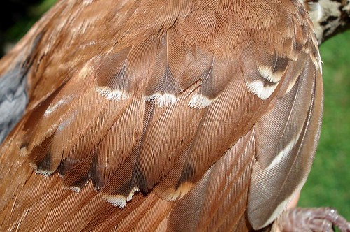 Brown Thrasher Coverts