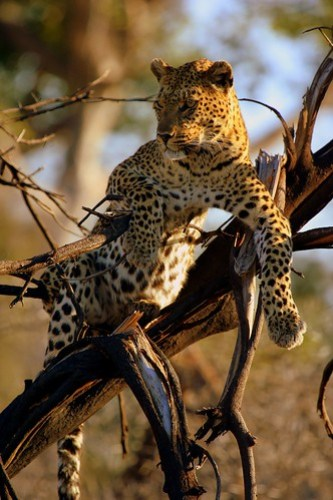 FEMALE LEOPARD IN BOTSWANA