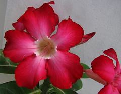 Island Beauty - Hibiscus