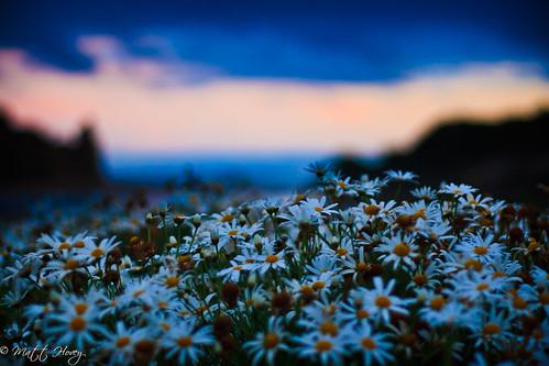 sunset daisies by Matt Hovey
