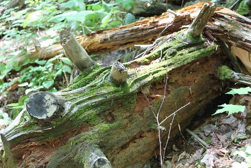 Old Rag 2010 - Moss and Log