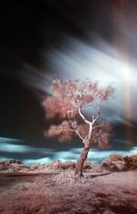 Tree at Hatchet Pond - IR