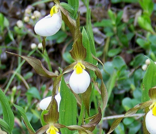 White Lady's Slipper (Cypripedium candidum Muhl)