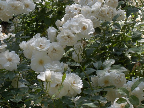 Roses are White...