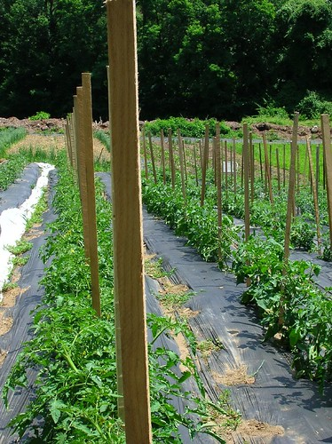 Stacked rows of young tomatoes