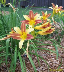 Day Lilies