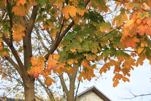 Marshfield, Wisconsin - Yellow and Green Maple Leaves