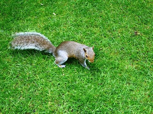 Squirrel! in Hyde Park