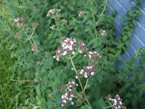 Oregano Bloom