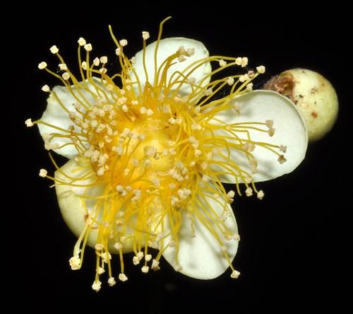 Lindsaydomyrtus racemoides (Daintree Penda)