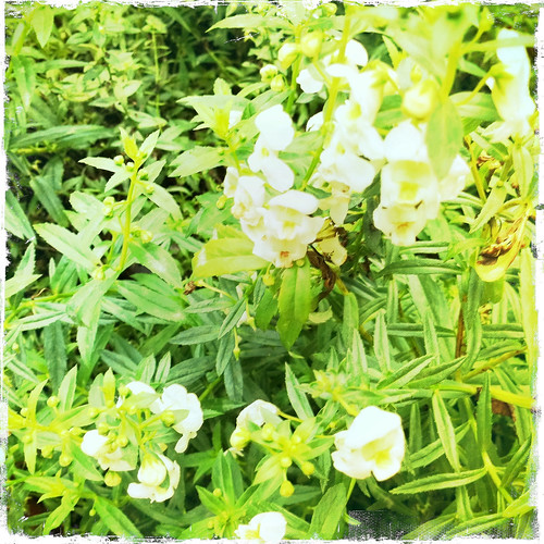 Hipstamatic Tiny White Flowers