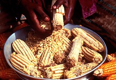 Farmer shelling maize