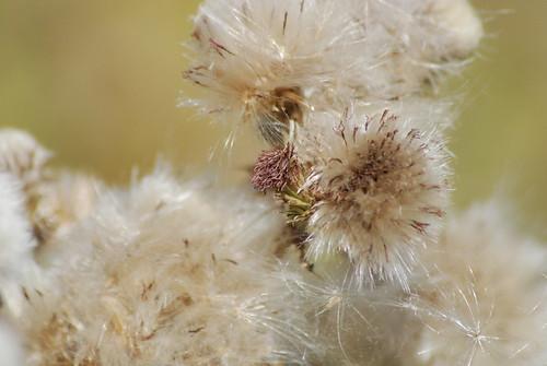 wild flowers in seed