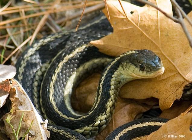 Eastern Garter Snake at High Falls
