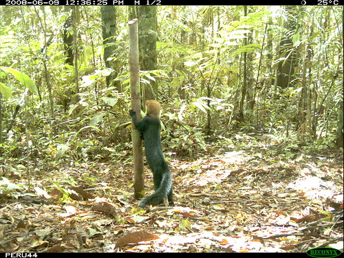 Tayra in Peru. Image via Smithsonian Wild.