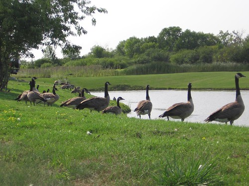 Monday Geese