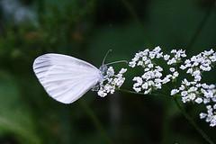 Wood White (Leptidea synapsis) provisional ID
