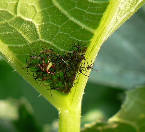 newly hatched squash bugs