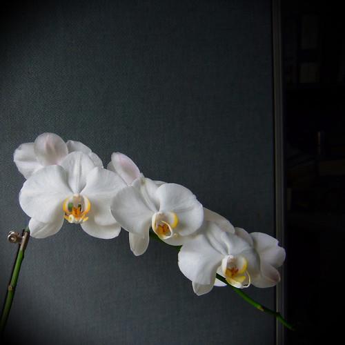 Orchid 台灣阿嬤