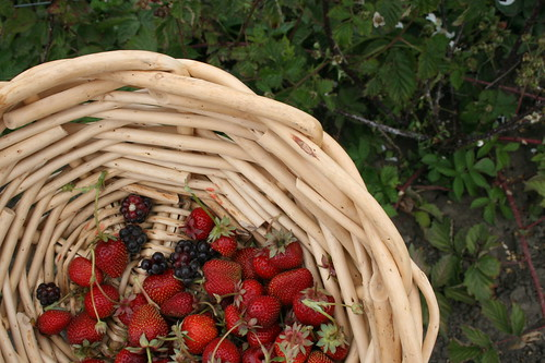 basket beginning to fill up with berries