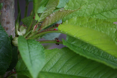 Red Aphids and Ants