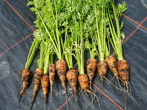 Chantennay Carrot