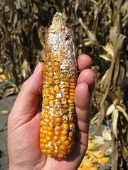 Fusarium ear rot on maize