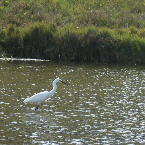 Egret at Natural Bridges