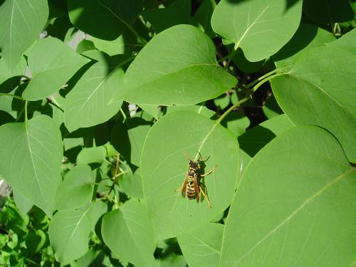 Yellowjacket on lilac leaves