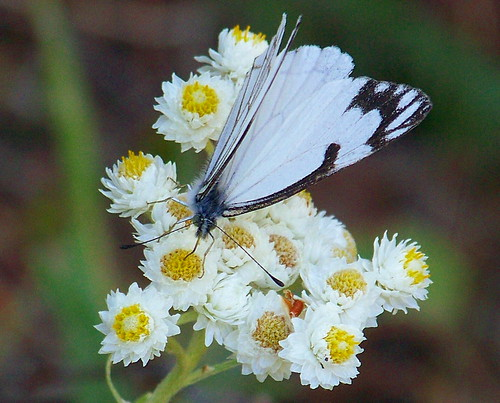 White Butteryfly on white flowers