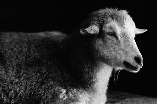 Pygora Goat