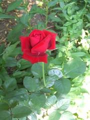 Tea Rose in North Garden