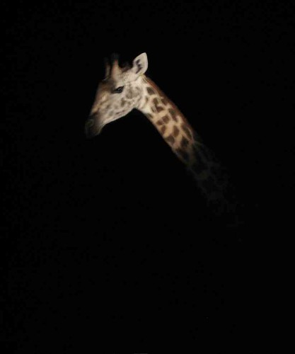 Giraffe at night by laparisienneavelo