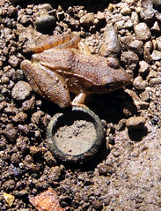 wood frog found under a rock beside Plummer's Hollow Run