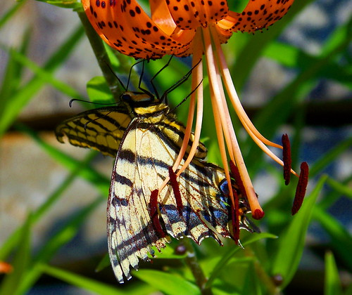 Butterfly and tiger lily