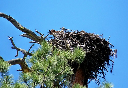 Osprey and her nest