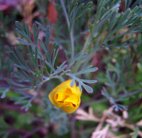 California Poppy 3