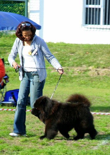 ROUGH BLACK CHOW AT THE SHOW